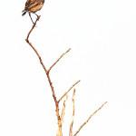 Stiaccino (Saxicola rubetra)