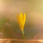 Zafferanastro giallo (Sternbergia lutea)