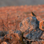 Pispola (Anthus pratensis)