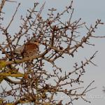 Cesena (Turdus pilaris)