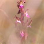 Orchide a sacco (Anacamptis collina)