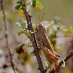 Locusta egiziana (Anacridium aegyptium)