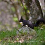 Scoiattolo nero meridionale (Sciurus meridionalis)