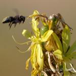 Ape legnaiola (Xylocopa violacea)
