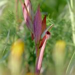 Serapide maggiore (Serapias vomeracea)