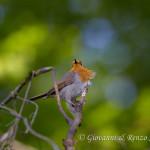 Pettirosso (Erithacus rubecula)