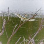 Airone guardabuoi (Bubulcus ibis)