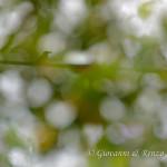 Ghiandaia marina (Coracias garrulus)