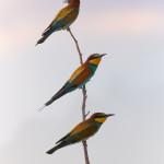 Gruccioni (Merops apiaster)