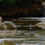 Merlo acquaiolo (Cinclus cinclus)
