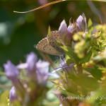Genzianella campestre (Gentianella campestris)