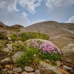 Cuscini fioriti tra le pietraie d'alta quota