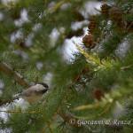 Cincia alpestre (Poecile montanus)