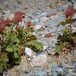 Cariofillata delle pietraie (Geum reptans)