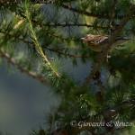Prispolone (Anthus trivialis)