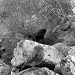 Civetta (Athene noctua)